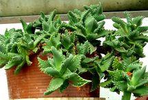 SUCCULENTS & Cacti / by Laura Buxbaum Landry