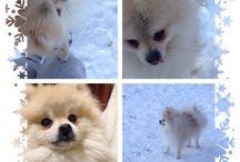 My Tyson / Pomeranian, puppy