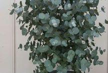 Drzewko eukaliptusowe