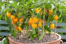 growing bellpeppers