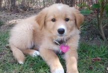 Tinker the Golden Collie