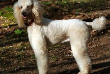 Louis the poodle (previously Boo Boo) / I love poodles. Especially Louis.