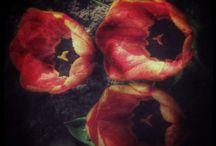 Tulips / Flowers|garden|nature|plants