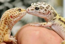 Geckos and other Reptiles