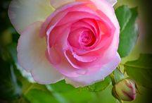 Розы и ...