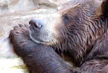 """North America - Grizzly Bear / Grizzly populations occur in northwestern North America. Many have white or silver tipped hair, giving them a """"grizzled appearance."""""""