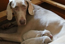 Puppycam 2 - Weimaraners / by Dogsclub .TV