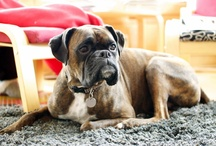 Maizey the Boxer / by Teri [a foodie stays fit]