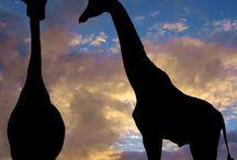 Giraffes / by Judy Schlager