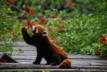 favorite animal (red panda)