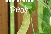 Gardening - Beans, Peas and Grains