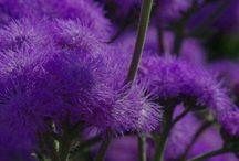 Дивный фиолетовый