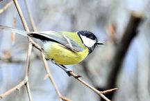 Carboneros / Pájaros