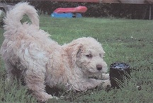 My Dog Hugin / this isnt really my dog, but my sisthers, he is a spanish waterdog and is really cute and wierd <3