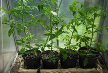tomatenweetjes