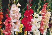 Gladioli - Spring Flowers: / Gladioli are amongst the most wonderful bulbs available for the Summer garden - we find that you simply cannot suprass gladioli in terms of towering elegance, colour & versatility.  Gladioli provide graceful spires which can be vertical accents and colour highlights. Gladioli are like Foxgloves and Hollyhocks in that they add vertical interest.   For more information on our Gladioli Range: https://www.tesselaar.net.au/gladioli