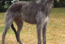 Deerhound / The Scottish Deer-hound, or simply the Deerhound, is a breed of hound (a sight hound), once bred to hunt the Red Deer by coursing. The Scottish Deer hound has existed back to a time before recorded history. Its antecedents have been kept by the Scots and would have been used to help in providing part of their dietary requirements, namely from hoofed game. See more at: http://www.noahsdogs.com/m/dogs/breed/Deerhound#sthash.u566fNG3.dpuf www.NoahsDogs.com