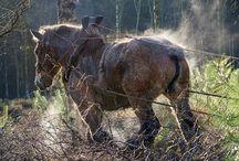 horse logging skidding