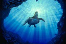 Honu (Turtle in Hawaiian) / We love our turtles in Hawaii!