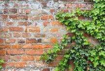 Плющ на стене