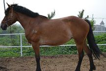 Le Bohai / Le Bohai est une race de Chine originaire du nord-est de la province de Shandong. Ce cheval aurait pour origine les chevaux Mongol. En 1952 le gouvernement décide introduire et d'utilisé l'insémination artificielle.