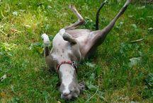 My Iggies (Italian Greyhounds)
