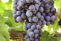 Grapevine care