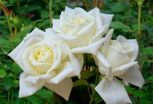 Rose types / Catalog rose types and rose varieties