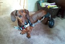 Frankie Wheelchair Fund / The Frankie Wheelchair Fund helps dogs with mobility challenges who need a dog wheelchair (dog cart). Founded in 2012 after the passing of Frankie the Walk 'N Roll Dog. To apply or contribute to this fund please visit www.nationalwalknrolldogday.com