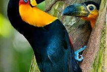Tucanos e aves