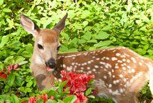 Deer Resistant Plants / Trouble with deer nibbling your plants?  Try these deer resistant plants...