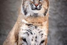 Bobcat, Lynx