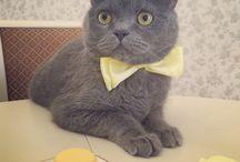 My sweet British cat Felix