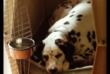My Dalmatian  / Pictures of my liver (brown spots) Dalmatian named Lizzy  / by Michael Morris