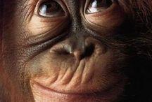 Orangutans ❤