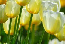 Flores Si