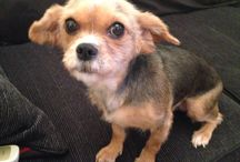 My little girl, Pom <3 / My gorgeous doggy, 4 years old. Chihuahua/yorkie cross xxx
