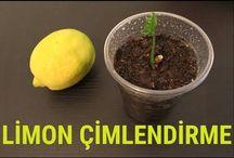 limon  çimlendirme