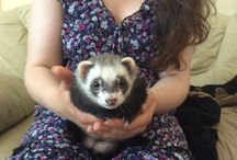 Ferrets / Our ferrets, and other funnies