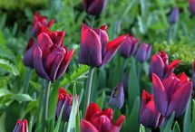Gardening - to plant - Bulbs