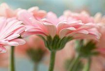 Flowers.Gerbera