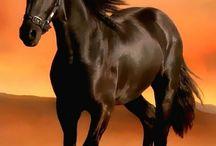 Atlar / Cins atlar