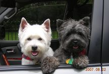 west highland and scottish terriers