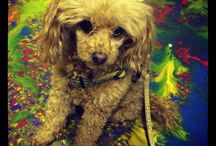 Poodle cute / These are of my little Bella