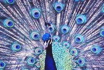 Peacocks / by Mae Paull