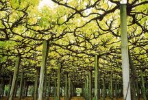 Vines in lanscape architecture