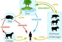 Apprenez en + sur la leptospirose / La leptospirose est une maladie infectieuse et tropicale. Souvent appelée « maladie du rat » ou « maladie des porchers », c'est une zoonose car elle est transmise par les animaux à l'homme.   Dans le monde, plus d'1 million de cas sévères de leptospirose humaine sont estimés chaque année, dont  60 000 décès.