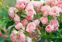 Pilze an Rosen
