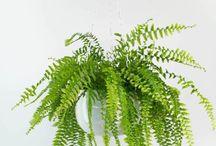 Things Nephrolepidaceae, the Eupolipod fern family