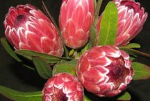 Protea South-Africa / Different kinds of Protea flowers for weddings and other functions